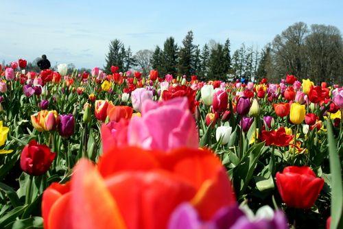 4-12=11 Tulip Fields (11)