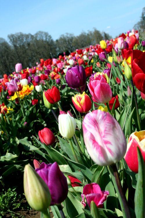 4-12=11 Tulip Fields (13)
