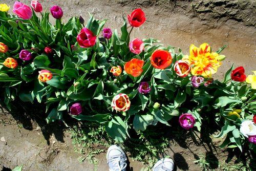 4-12=11 Tulip Fields (15)